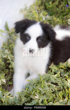 Border Collie cucciolo cercando carino Foto Stock