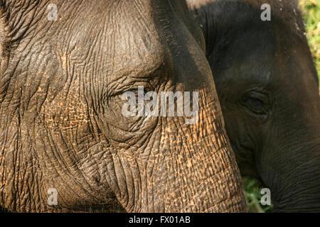 Full frame fino in prossimità di due elefante indiano profili centrato sull'occhio Foto Stock