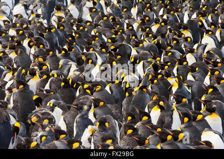 Pinguino reale (Aptenodytes patagonicus) colonia, St Andrews Bay, Isola Georgia del Sud