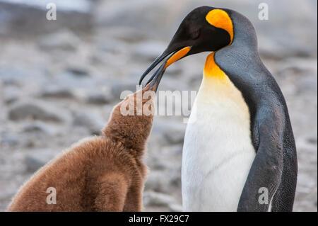 Pinguino reale alimentando un pulcino (Aptenodytes patagonicus), St Andrews Bay, Isola Georgia del Sud