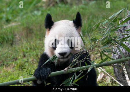 Adulto Panda Gigante (Ailuropoda melanoleuca), Cina conservazione e centro di ricerca per la Panda Giganti, Chengdu Foto Stock