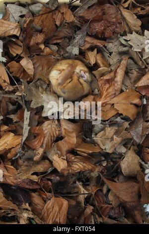 Hazel ghiro, Muscardinus avellanarius Foto Stock