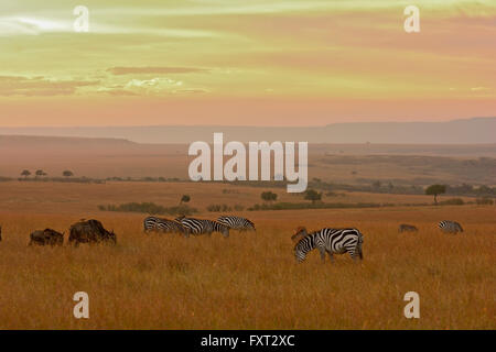 Le pianure o comuni o zebre (Equus quagga) e blu (Wildebeests Connochaetes taurinus) nelle praterie Foto Stock
