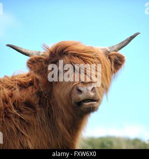 mucca dell'altopiano Foto Stock
