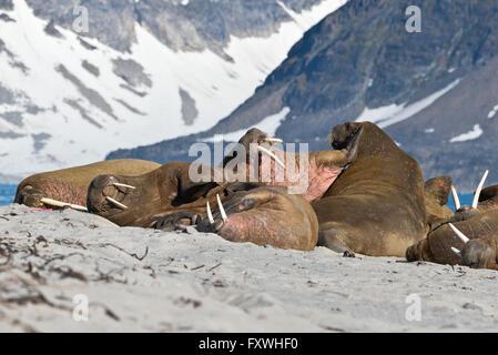 Trichechi combattimenti sulla spiaggia presso il loro bottino presso Smeerenburg in Svalbard Foto Stock