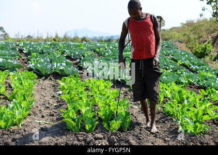 Il Malawi, Thyolo, villaggio Samuti, agricoltore spray insetticidi sintetici con mobile gruppo pompa e barattolo Foto Stock