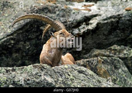 Stambecco delle Alpi (Capra ibex) mostra la risposta flehmen in montagna roccia nelle Alpi