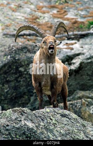Stambecco delle Alpi (Capra ibex) chiamando in montagna roccia nelle Alpi