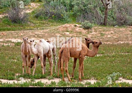 Giovani cammelli gruppo