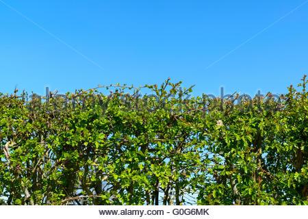 Copertura contro il cielo blu, Wiltshire, Inghilterra, Regno Unito Foto Stock