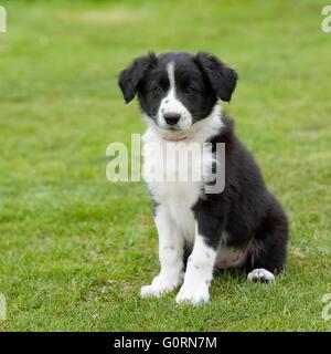 Border Collie cucciolo Foto Stock