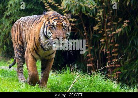 La tigre di Sumatra sotto la pioggia Foto Stock