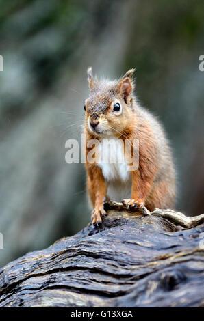 Scoiattolo rosso in inverno. Brownsea Island, Dorset, Regno Unito. Febbraio 2014 Foto Stock