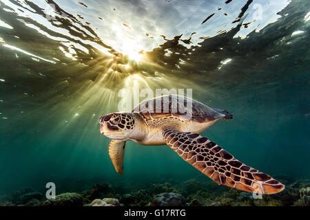 Rara tartaruga verde (Chelonia Mydas), il nuoto in mare aperto,, Cebu, Filippine Foto Stock