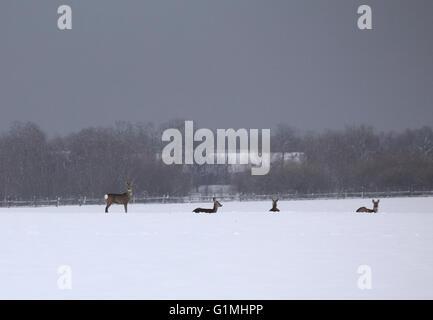 Pack di capriolo (Capreolus capreolus) nel paesaggio invernale. Foto Stock