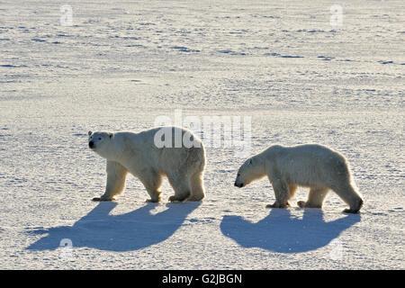 Gli orsi polari Ursus maritimus sulla tundra ghiacciata, Churchill, Manitoba, Canada Foto Stock