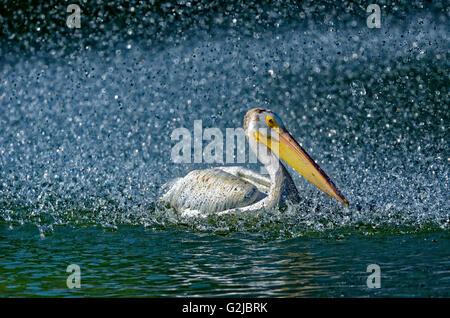 Americano bianco pellicano (Pelecanus erythrorhynchos) in stagni artificiali dalla fontana, Winnipeg, Manitoba, Foto Stock
