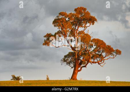 Maestoso albero di gomma alla luce di un basso permanente. sun. Foto Stock