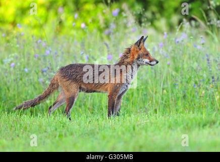Red Fox in un campo Foto Stock