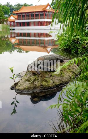 L'elemento di monitoraggio presenza acqua lizard (varan) è restin sul sasso nello stagno nel giardino cinese Foto Stock