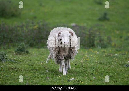 Moorland ovini Ovis aries con lungo cappotto di lana sul pascolo irregolare  nello Yorkshire Foto Stock 9df97b73e59e