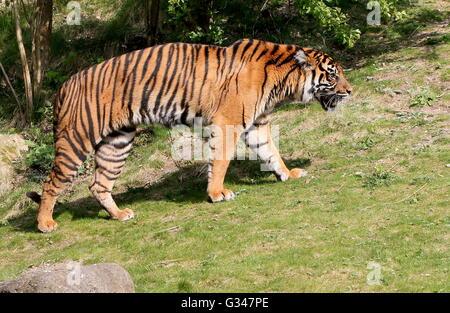 Femmina matura la tigre di Sumatra (Panthera tigris sumatrae) sul prowl Foto Stock