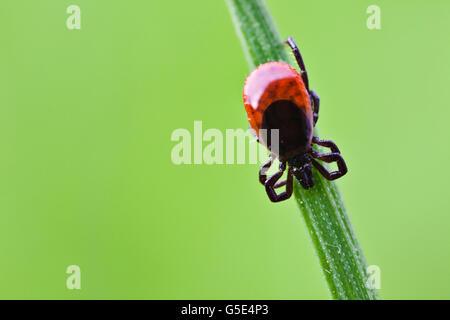 Castor bean tick (Ixodes ricinus), su una lama di erba Foto Stock