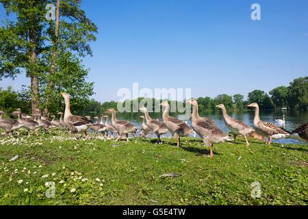 Famiglia di oche, Graylag Goose (Anser anser) con un sacco di cuscini, Kleiner Dutzendteich, Volkspark Dutzendteich, Foto Stock