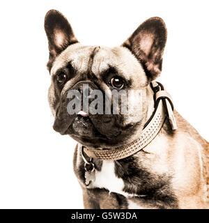 Close-up di un bulldog francese aderire la lingua fuori e guardando la telecamera, isolato su bianco Foto Stock