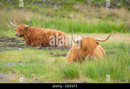 Highland bovini in Scozia Foto Stock