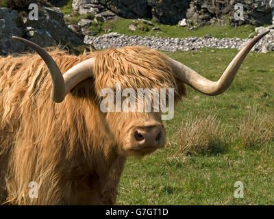 Scottish Highland mucca, Isola di Colonsay, Scotland, Regno Unito. Foto Stock
