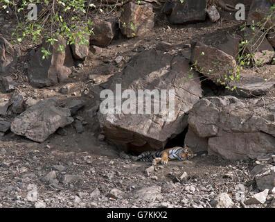 L'immagine della tigre ( Panthera tigris ) Noor o T39 è stata presa in Ranthambore, India