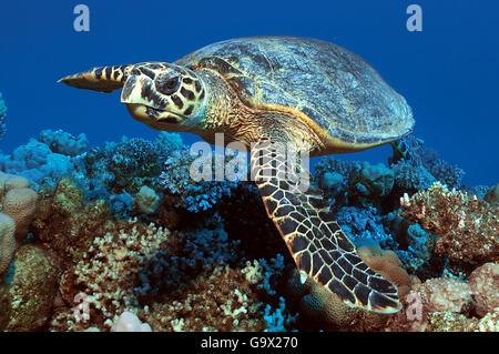 Hawksbill tartaruga di mare, Ras Port Ghalib, Egitto, Africa, Mar Rosso / (Eretmochelys imbricata) Foto Stock
