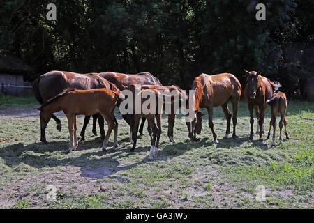 I cavalli purosangue fresco mangiare erba falciata su un cavallo rurale farm quando il sole va giù Foto Stock