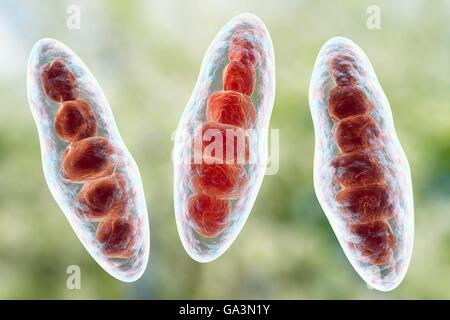 Computer illustrazione di Trichophyton mentagrophytes, la causa del piede d'atleta (tinea pedis) e cuoio capelluto tigna (tinea capitus). Entrambi questi pelle contagiosa di diffusione delle infezioni da fungo di spore (rosso). T. mentagrophytes è una di molte specie di funghi che possono crescere nella pelle umana, causando infiammazione e prurito. Il piede d'atleta e tigna sono trattati con farmaci antifungini. Visto qui sono macroconidia (multi-corpi cellulari contenenti le spore).