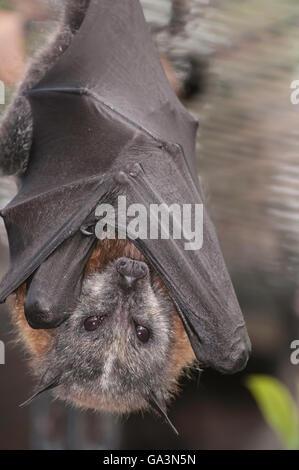 A testa grigia flying fox, Pteropus poliocephalus, nativo di Australia Foto Stock