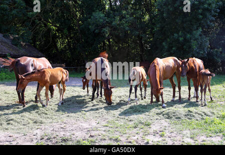 Razza di cavalli gidran fresco mangiare erba falciata su un cavallo rurale farm quando il sole va giù Foto Stock