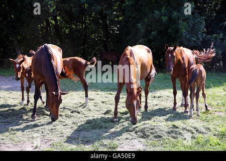 Giovani puledri e giumente pascolare tranquillo sul cavallo ranch estate Foto Stock