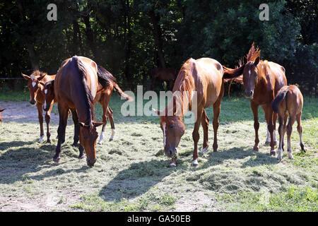 Thoroughbred gidran cavalli freschi mangiare erba falciata su un cavallo rurale farm quando il sole va giù Foto Stock