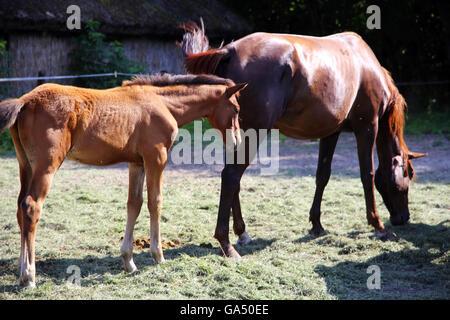 Puledro e mare tranquillo al pascolo insieme a cavallo ranch estate Foto Stock