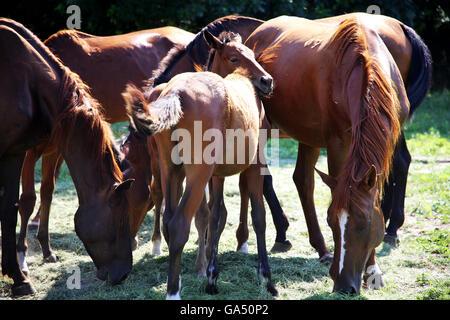 Allevamento di cavalli gidran fresco mangiare erba falciata su un territorio rurale horse farm Foto Stock