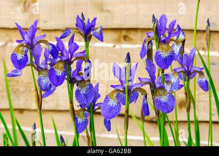Iris blu di piante fiorite in un giardino. Foto Stock