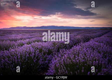 Blooming campo di lavanda sotto i colori rosso del tramonto estivo oltre la montagna Foto Stock
