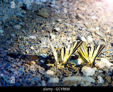 Due pasqua a coda di rondine tigre farfalle acqua potabile presso la riva del fiume Foto Stock