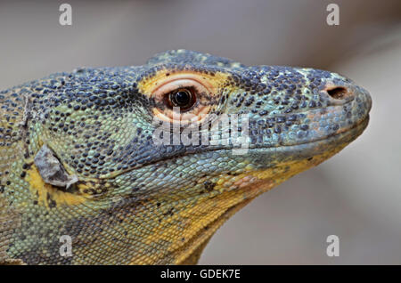Ritratto di un drago di Komodo,il gigante della lucertola famiglia