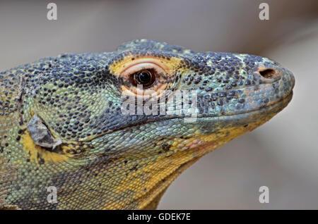 Ritratto di un drago di Komodo,il gigante della lucertola famiglia Foto Stock