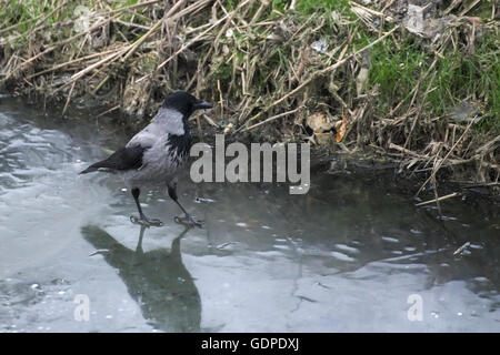 Cornacchia mantellata (Corvus cornix) passeggiate sul lago ghiacciato. Foto Stock