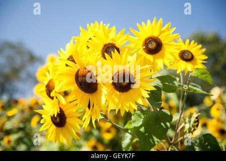 Fiore del sole Foto Stock