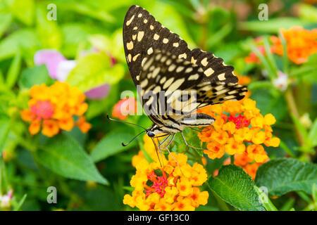 Lime butterfly (Papilio Demoleus Malayanus) sul fiore in Chiang Mai Thailandia Foto Stock