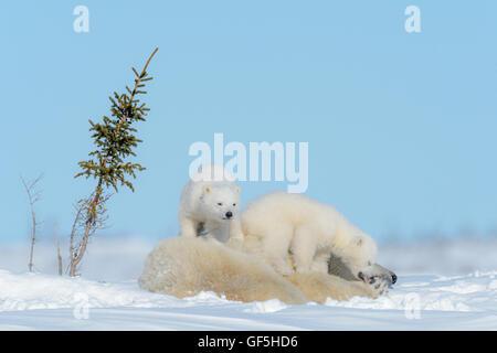 Orso polare madre (Ursus maritimus) disteso con due cani giocando, Wapusk National Park, Manitoba, Canada Foto Stock